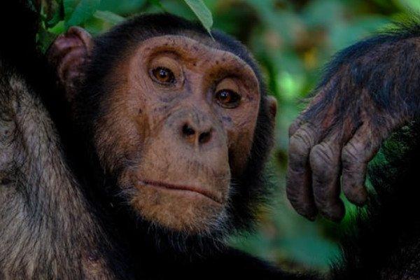 Why Chimpanzees Don't Smile?